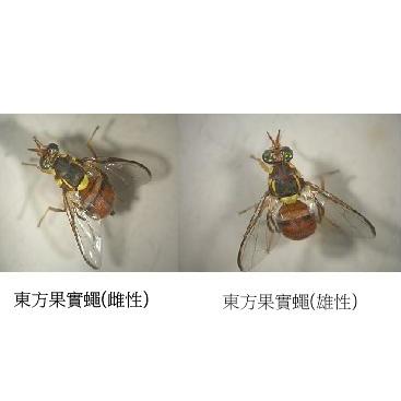 東方果實蠅