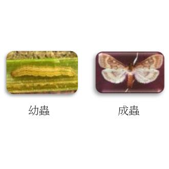 亞洲玉米螟